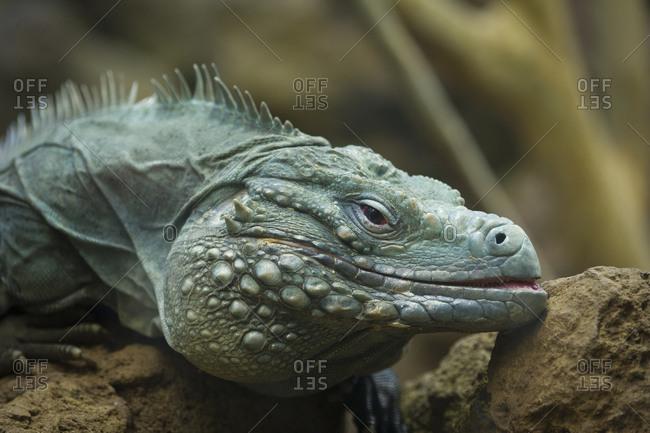 Close up of a Grand Cayman blue iguana, Cyclura lewisi