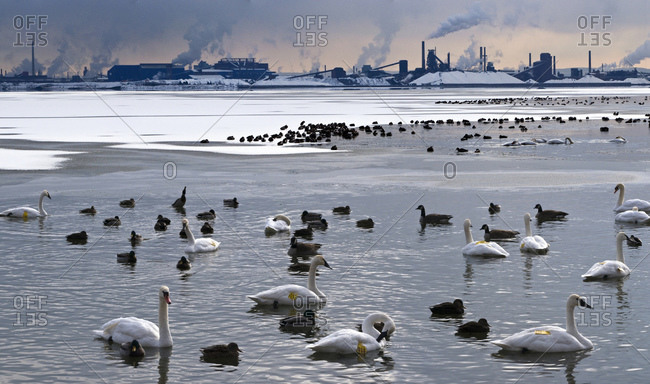 Swans And Ducks On Lake
