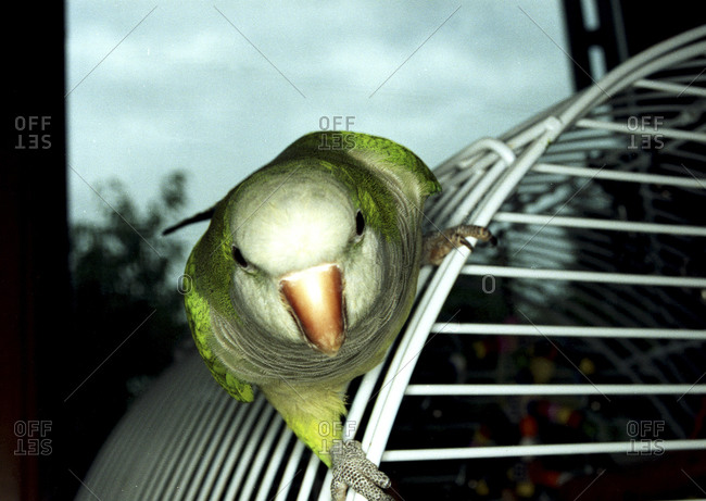 Lime green parrot on the cage