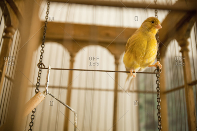 Little yellow canary sitting in the bird cage.