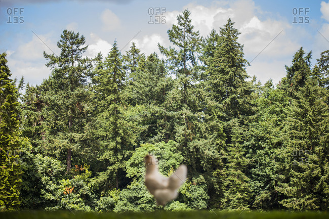White chicken standing on green grass