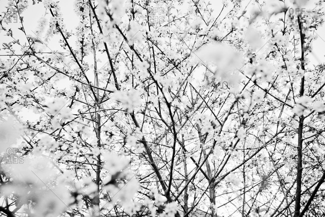 Black and white blossoming tree