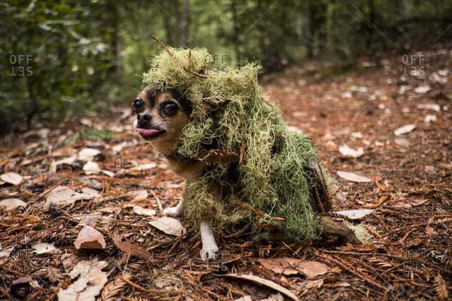 Chihuahua Covered in Moss