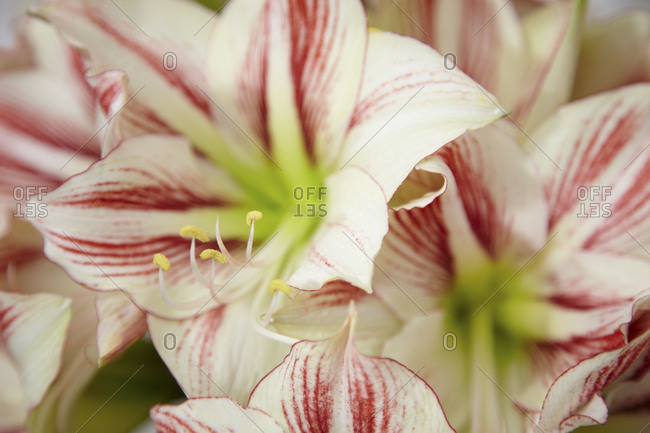 White and pink star lily