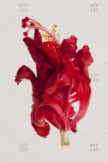 A dried hibiscus flower