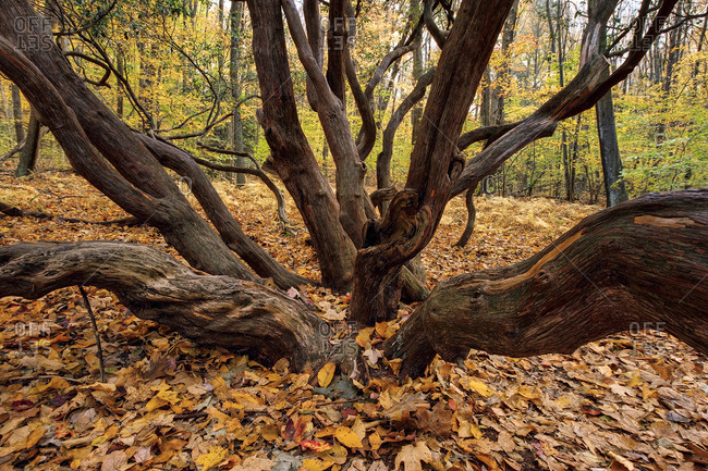 Twisted Giant Laurel Tree During Autumn In A Forest