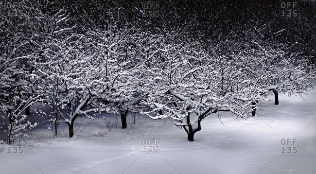Orchard Covered In Snow