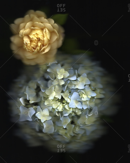 Still-Life Of Blue Hydrangea And A Yellow Rose