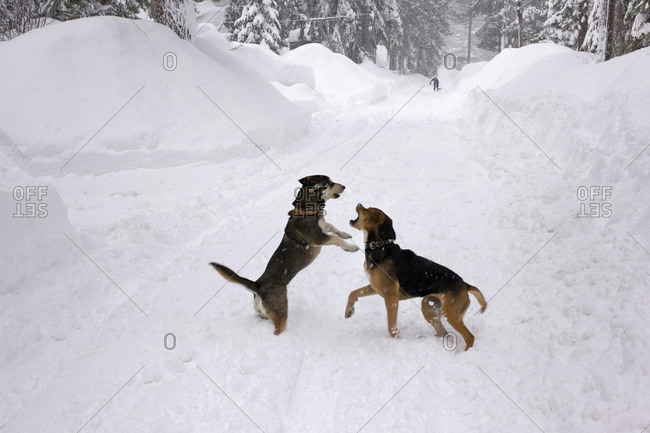Dogs Playing in Snow Storm