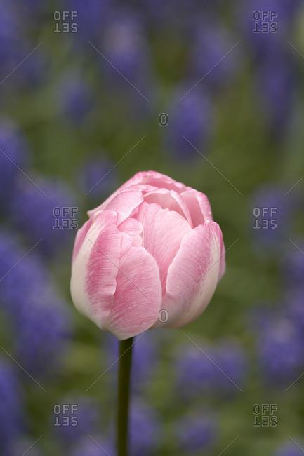 Pink Tulip, Ottawa, Ontario, Canada