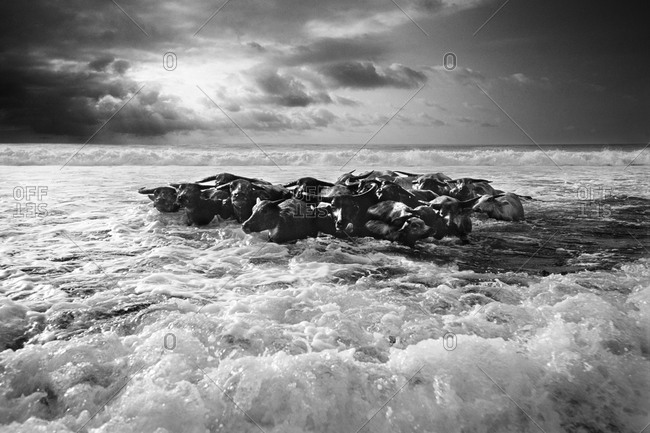 Buffalo herd on a wavy ocean