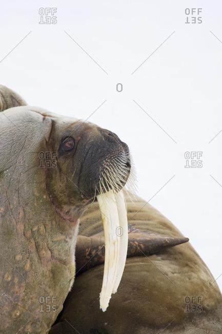 Portrait of a walrus
