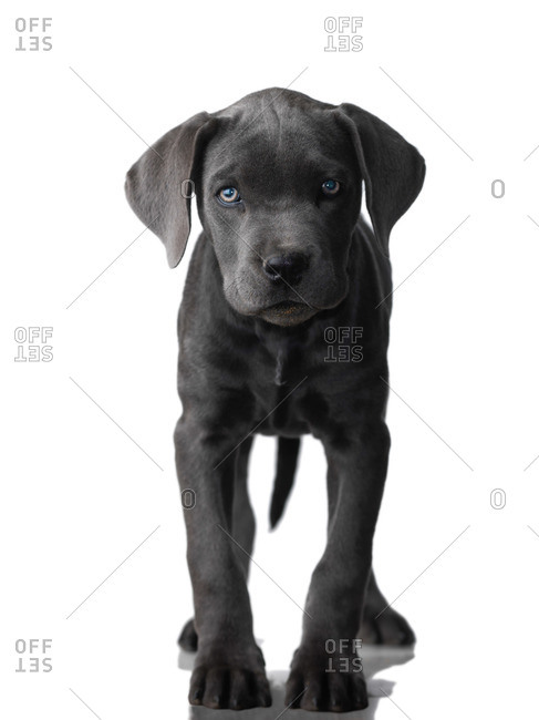 Portrait of Cane Corso Puppy