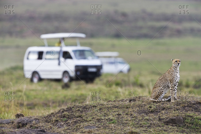 Safari Vans and Cheetah on Termite Mound, Kenya