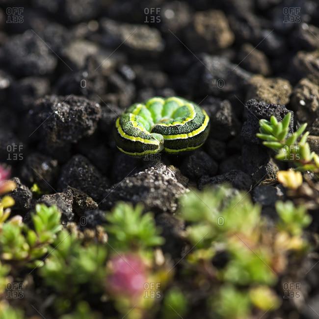 Green Larvae on Lava Rocks, Iceland