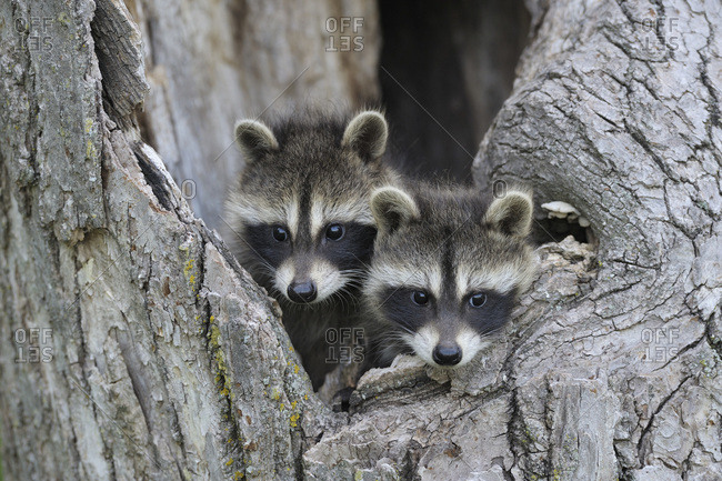 Baby Raccoons, Minnesota, USA