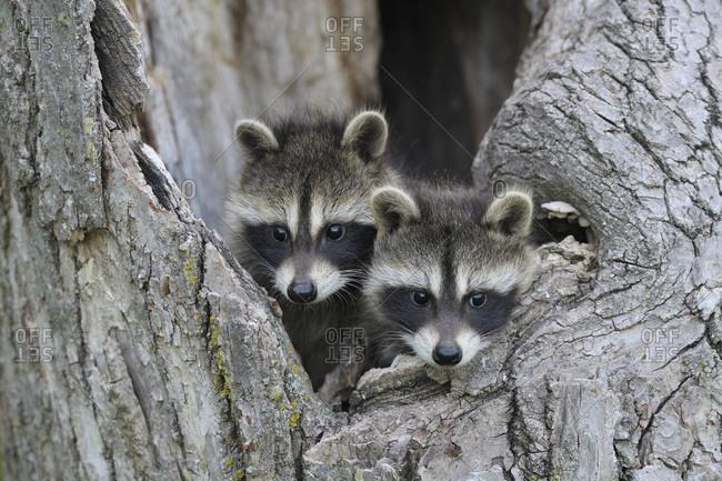 Baby Raccoons, Minnesota, USA - Offset
