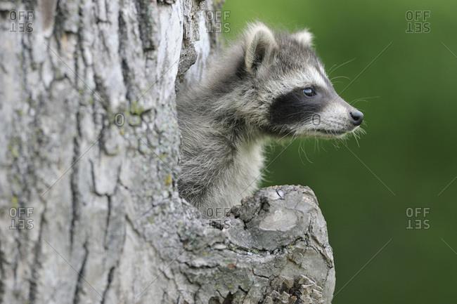 Baby Raccoon, Minnesota, USA - Offset
