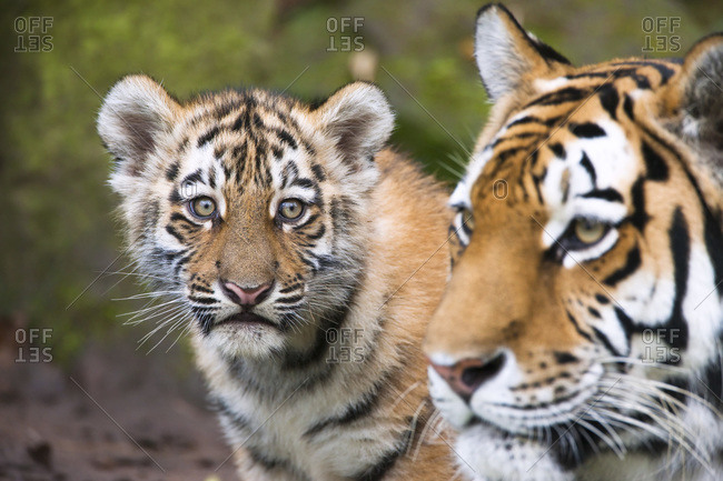 Portrait of Siberian Tigers