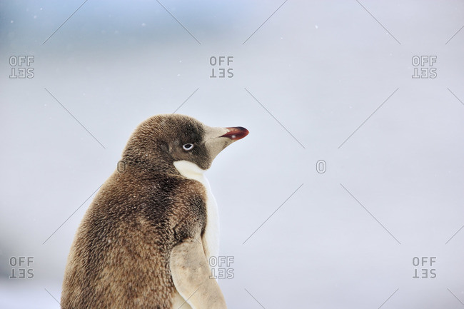 Profile of a brown adelie penguin