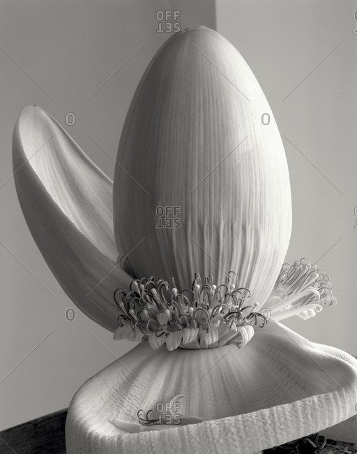 Banana Tree flower in black and white