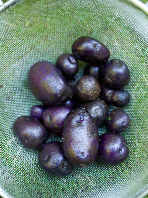 Freshly picked and washed purple potatoes in colander