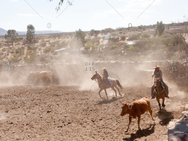Ranchers on horse lassoing cows in desert ranch in Mexico