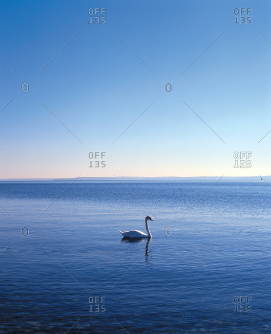 A lone swan swimming - Offset