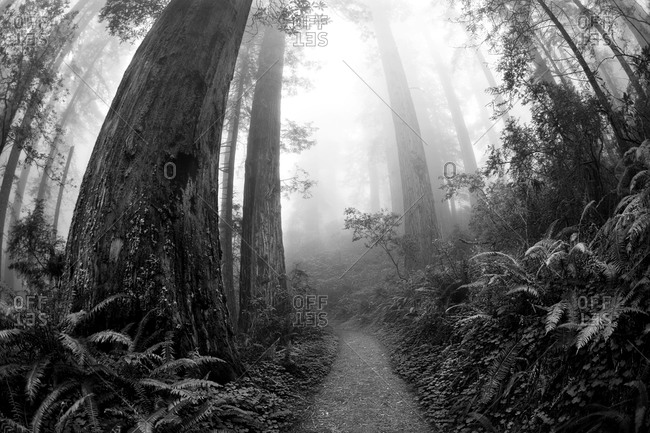 Pathway leading through Redwood Forest on a foggy morning in Northern California