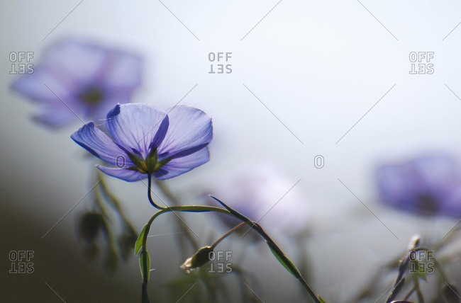 Blue flowers in morning light