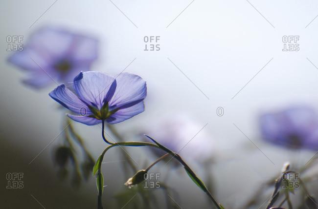 Blue flowers in morning light