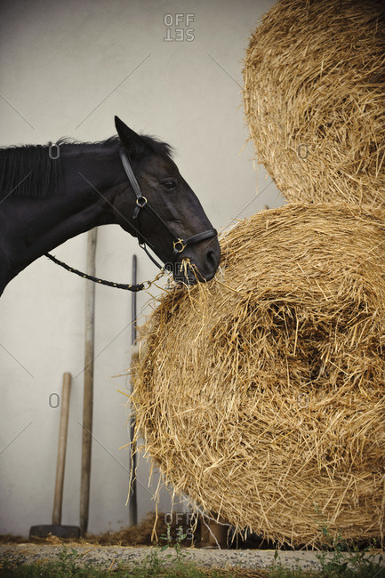 Horse standing outside eating hay