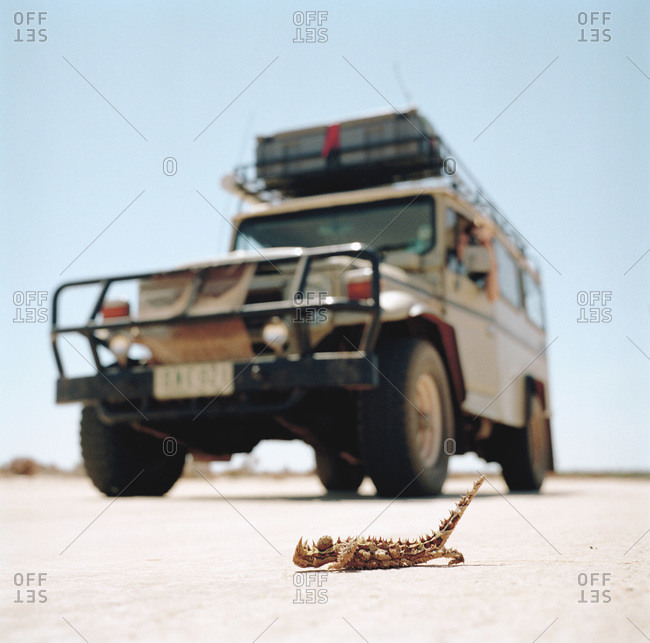 A thorny devil lizard, moloch horridus, crawling in front of an off-road vehicle in Australia