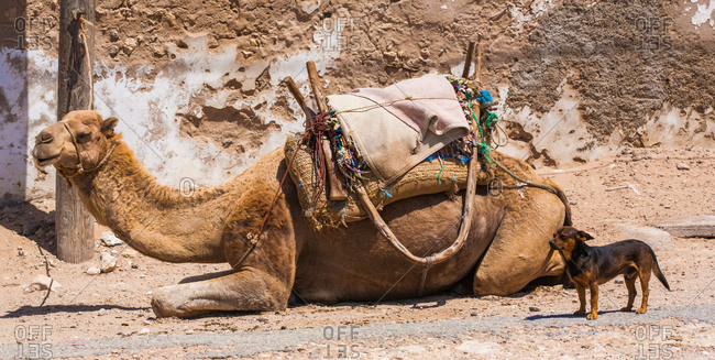 Resting camel and dog in front of ruined wall