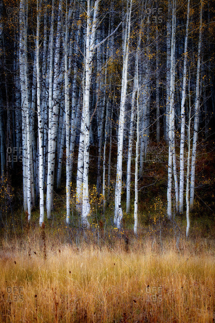 A forest of white aspen trees