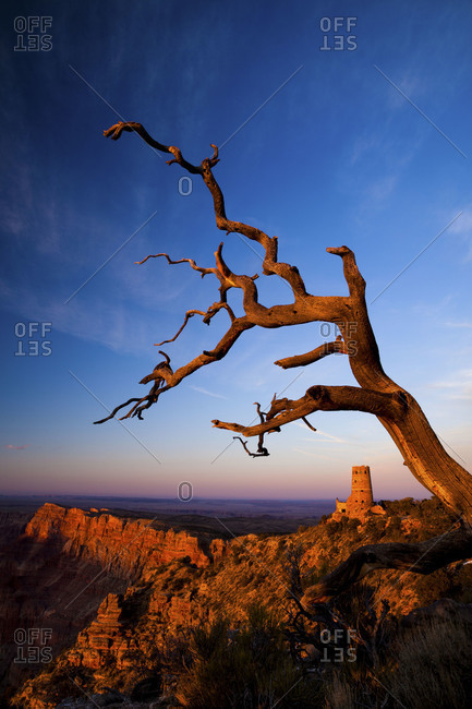 A dead tree at the grand canyon