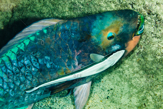 Large blue parrotfish from above