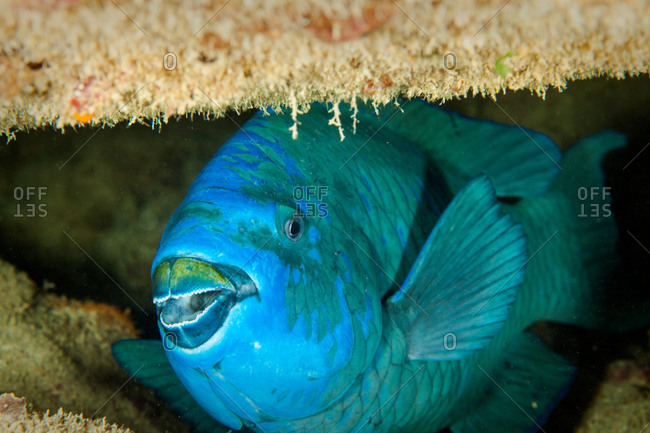 Large blue parrotfish hiding in Benwood shipwreck