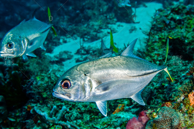 Two horse-eye jack fish swimming by reefs