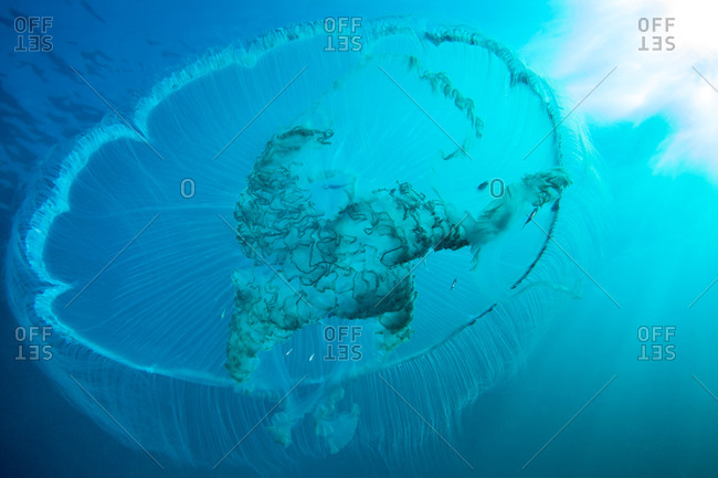 Moon jellyfish swimming from below