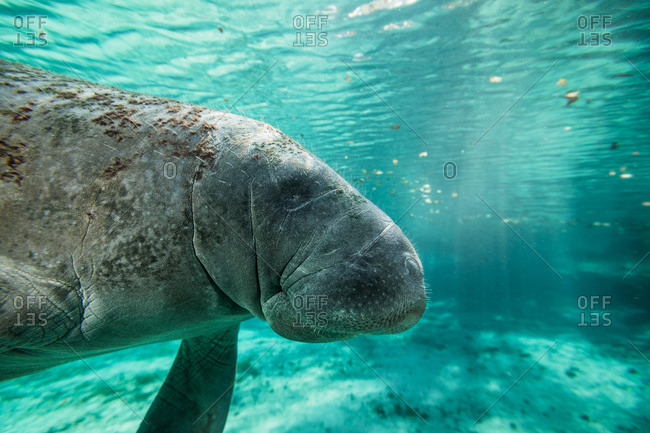 Florida manatee grazing in the shallow water