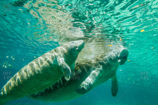 A pair of Florida manatee grazing in the shallow water