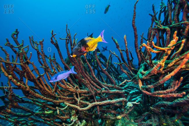 Bushy gorgonian soft coral and reef fish