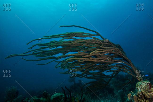 Bushy gorgonian soft coral