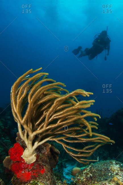 Bushy gorgonian soft coral and silhouette of diver