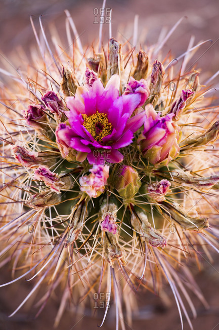 Close-up of cactus flower, Utah