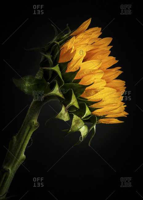 Sunflower against a black background