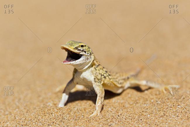 Africa, Namibia, Shovel-snouted lizard in namib desert