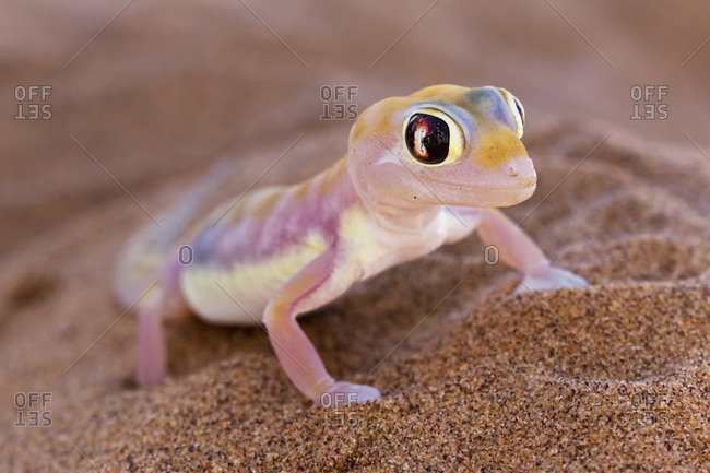 Africa, Namibia, Palmato gecko in namib desert