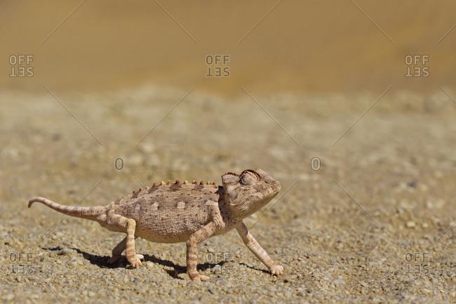 Africa, Namibia, Namaqua chameleon crawling in namib desert